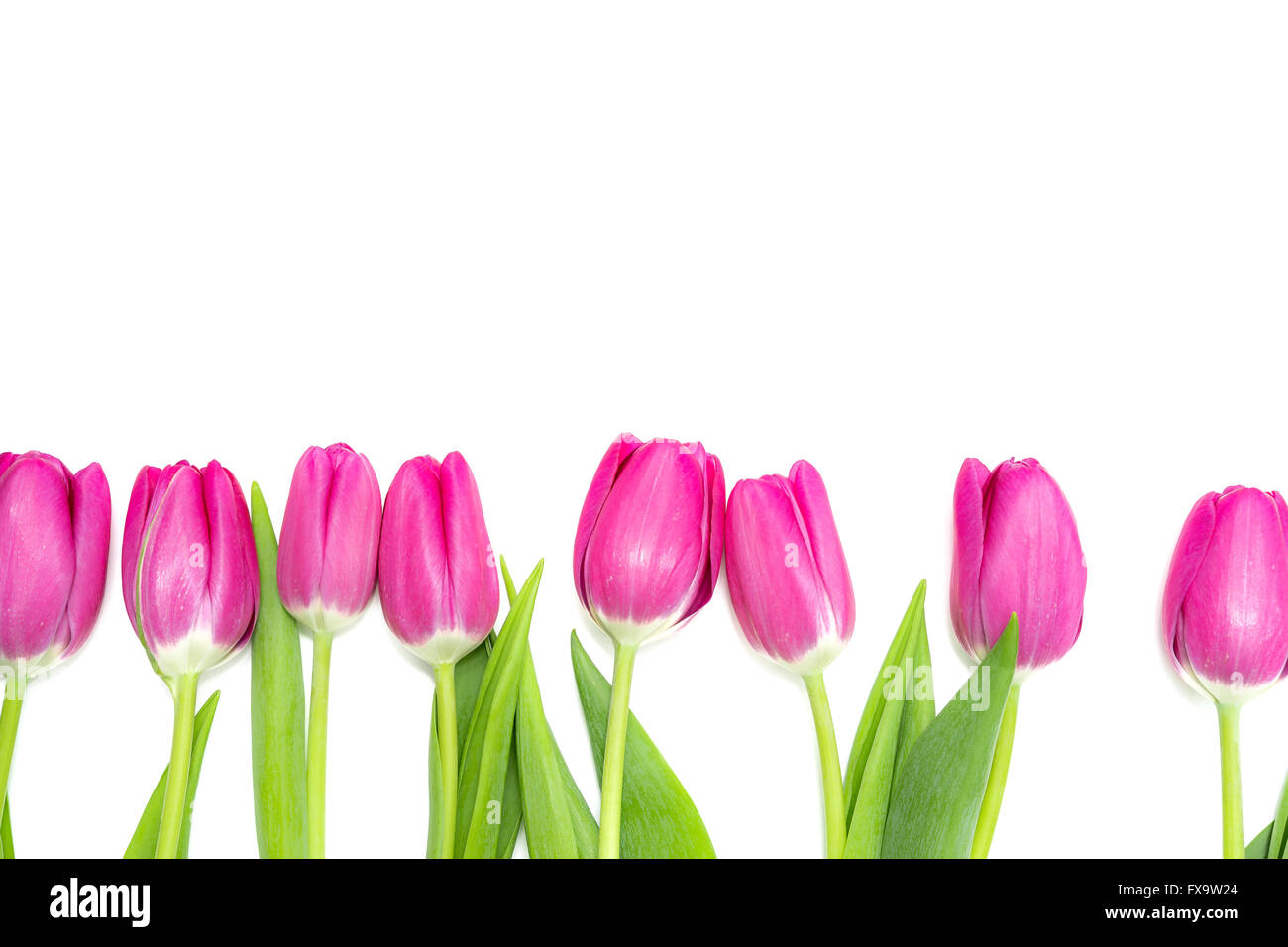 Pink Tulips in a Row - white Background Stock Photo