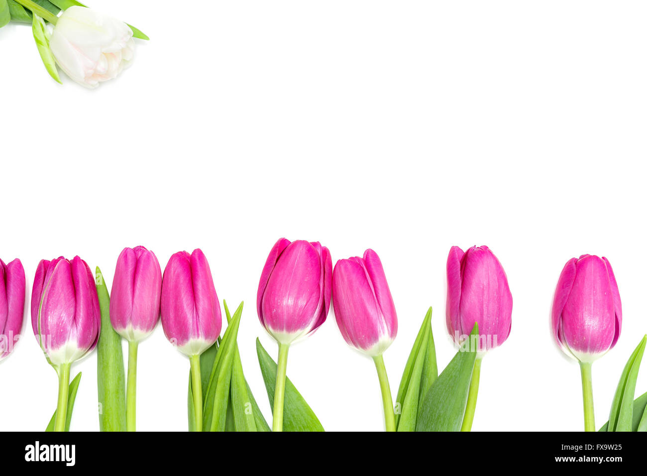 Pink Tulips in a Row and a white One Stock Photo