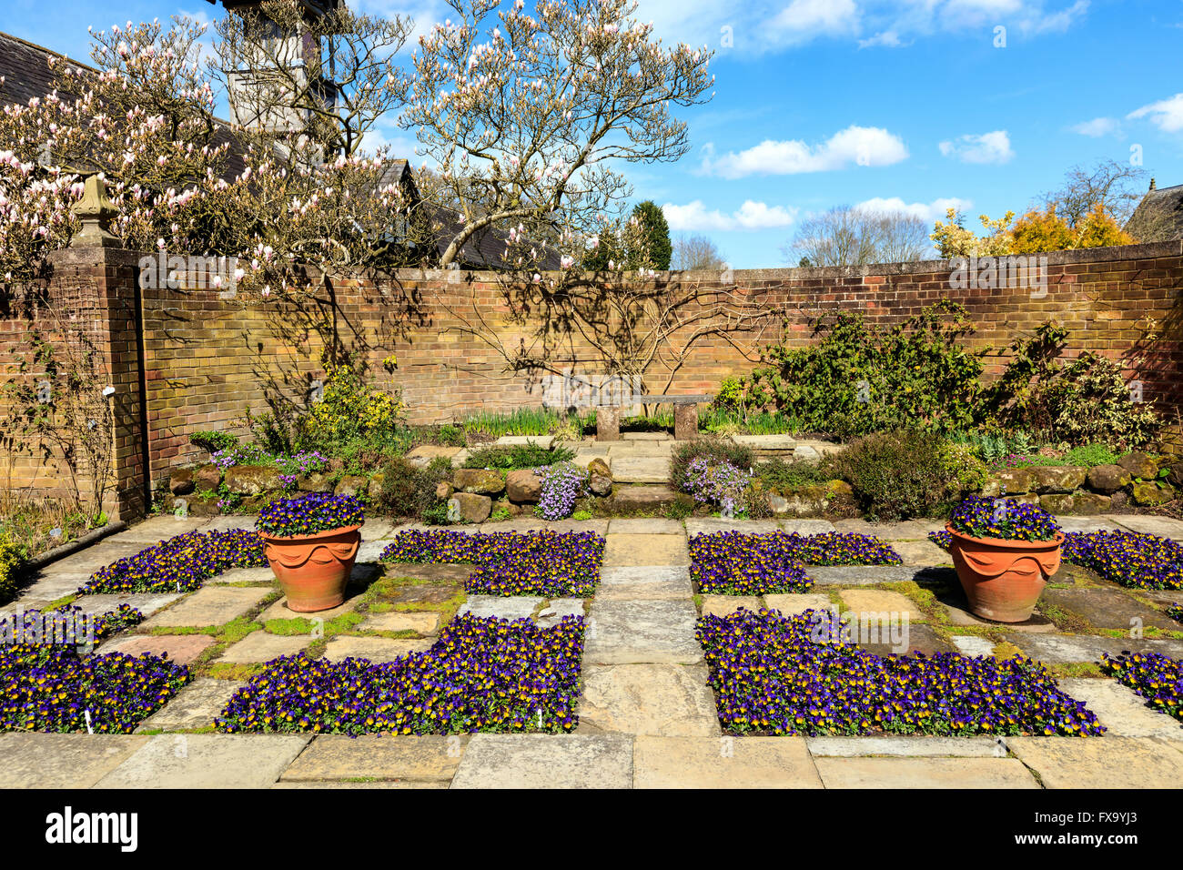 Flagged garden with violas and a magnolia tree. Stock Photo