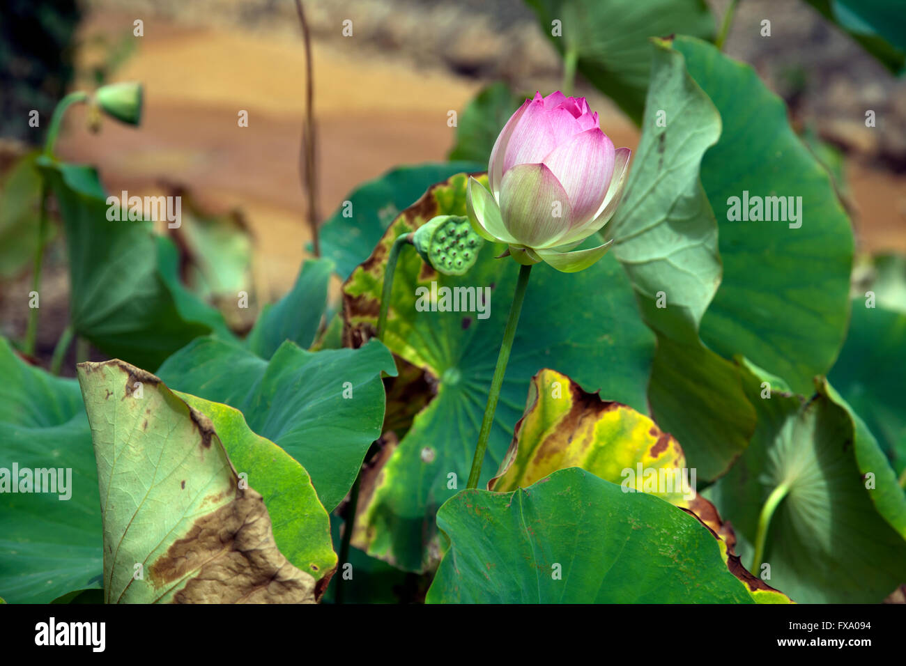 Closed Lotus Flower Stock Photos Closed Lotus Flower Stock Images