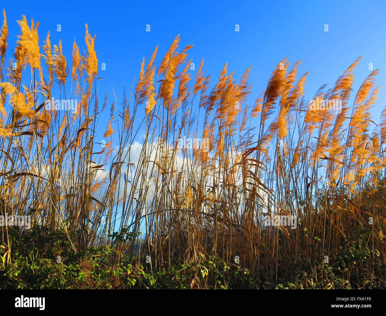 Seeding tall green bamboo grass closeup against blue sky - Stock Image