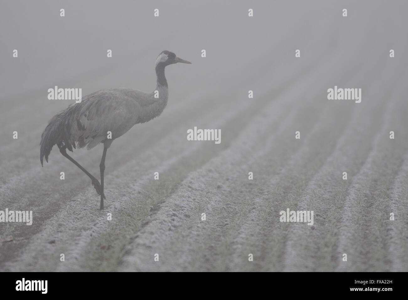 Common Crane / Grauer Kranich ( Grus grus ) walking over a foggy field searching for food. Stock Photo