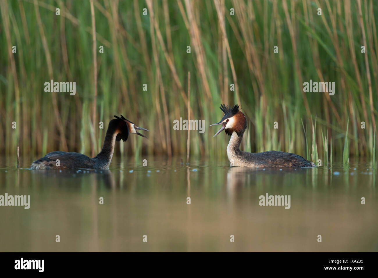 Great Crested Grebes ( Podiceps cristatus ), two adult, blustering each other as part of their territorial behavior. - Stock Image