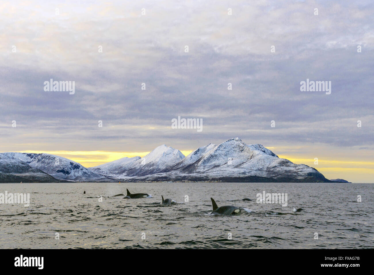 Several Orcas (Orcinus orca) in front of snowy mountains, group, North Atlantic, at Tromvik, Norway - Stock Image