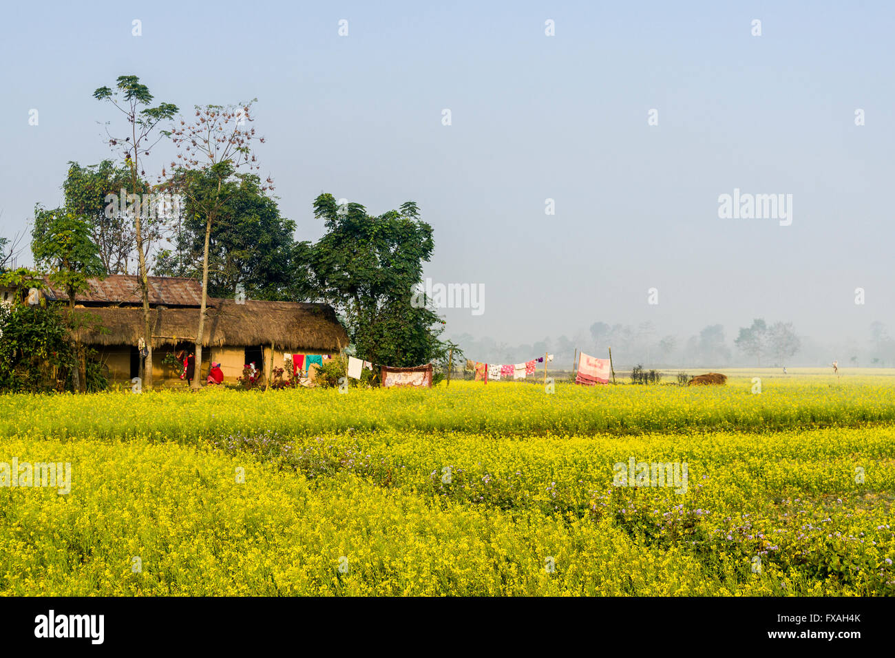 A farmers house standing in the middle of a yellow mustard field in the Terai plains, Sauraha, Chitwan, Nepal Stock Photo