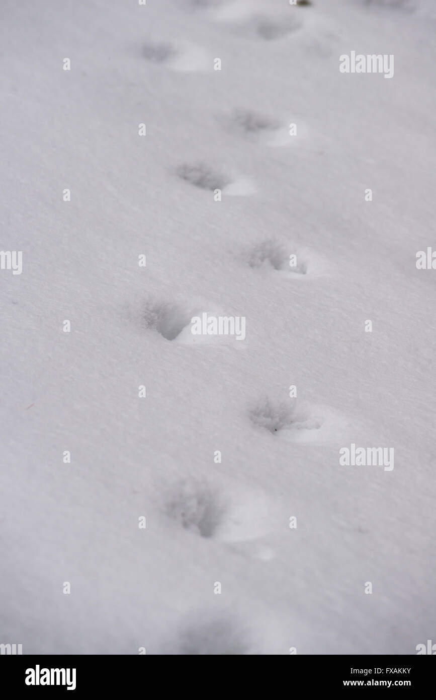 Animal footprints in the snow - Stock Image