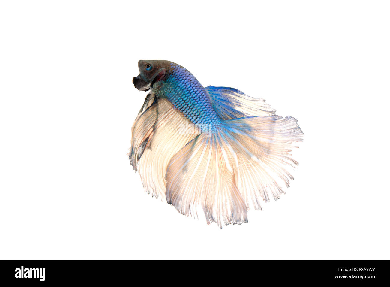 betta splendens or siamese fighting fish isolated on white background - Stock Image