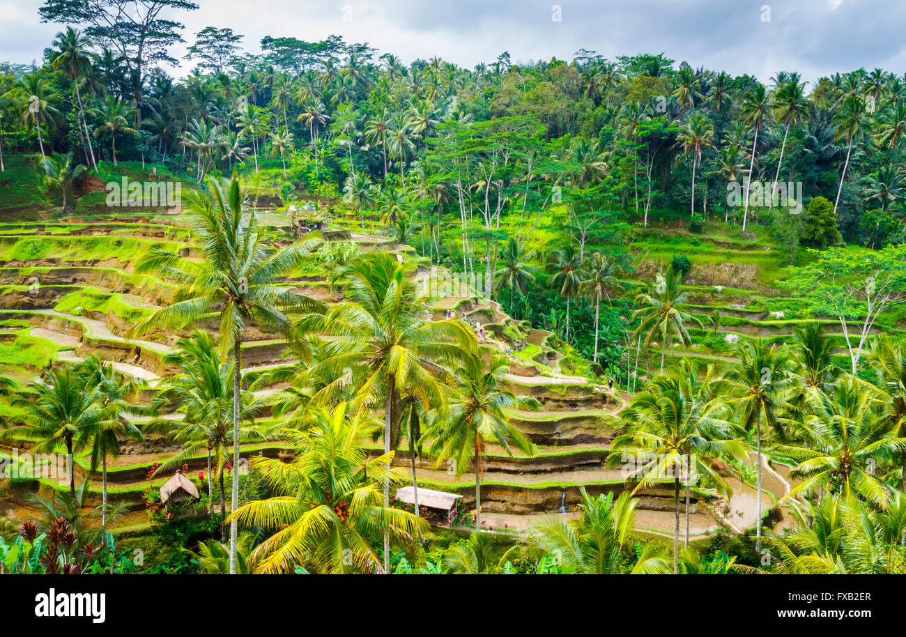 Tegallalang rice field. Bali. Indonesia, Asia. - Stock Image