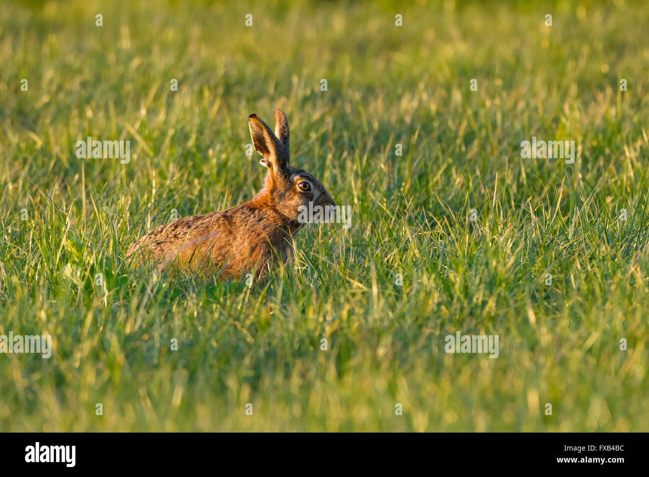 Brown Hare sitting in grass - Stock Image