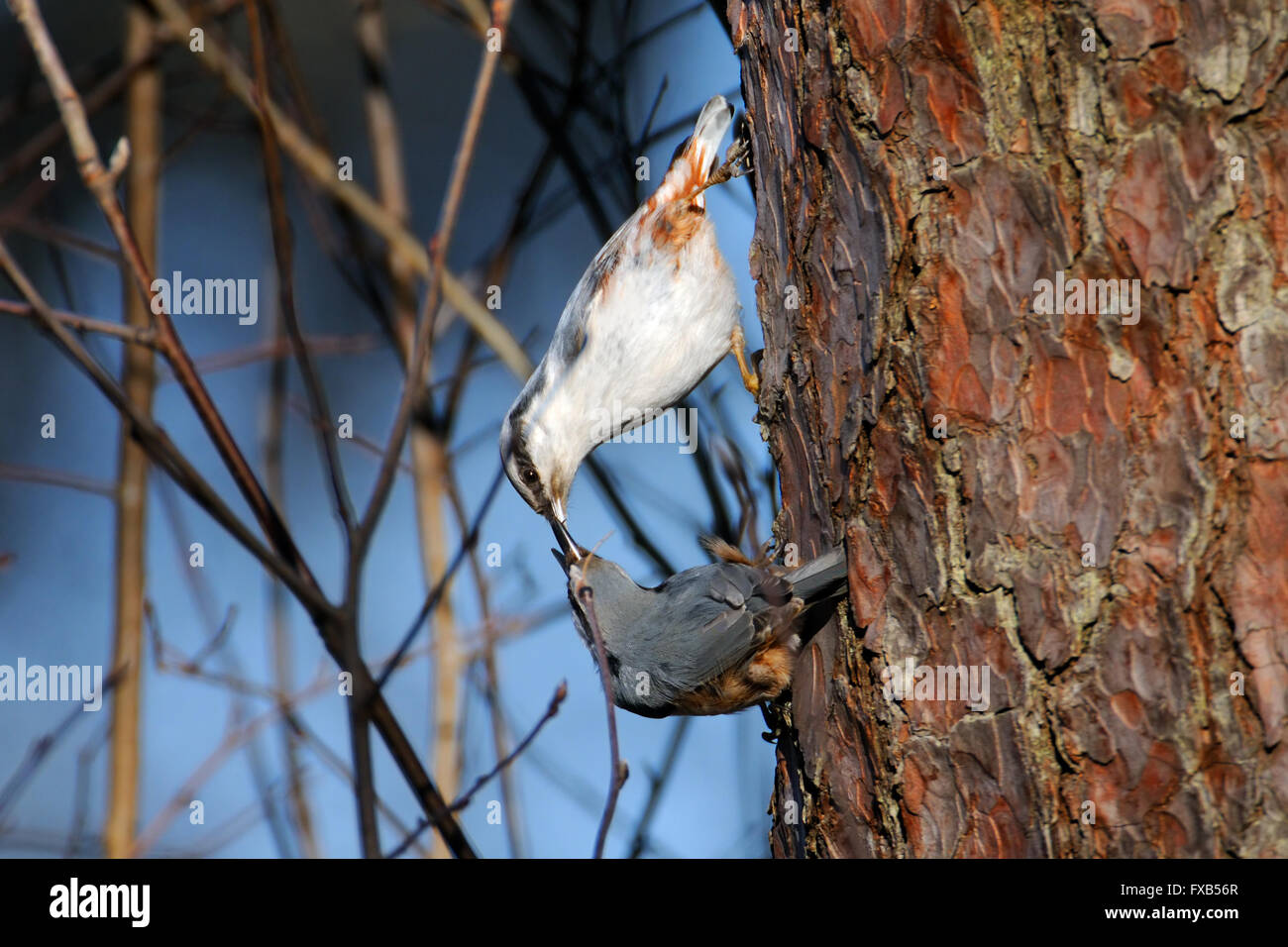 Male Eurasian Nuthatch feeds female in spring - Stock Image