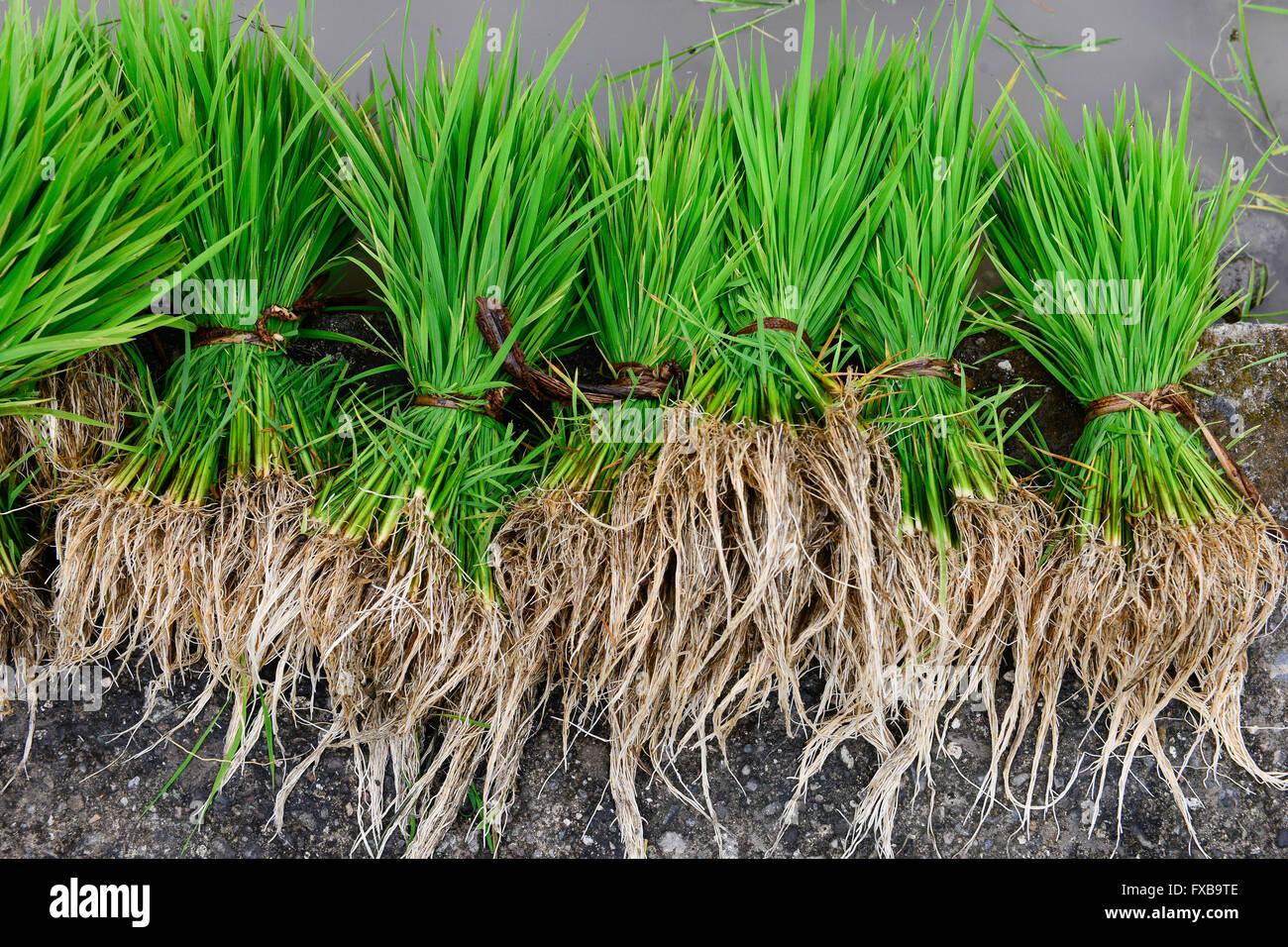 PHILIPPINES, Mountain Province, Cordilleras, Bontoc, rice farming / PHILIPPINEN, Mountain Province, Cordilleras, - Stock Image