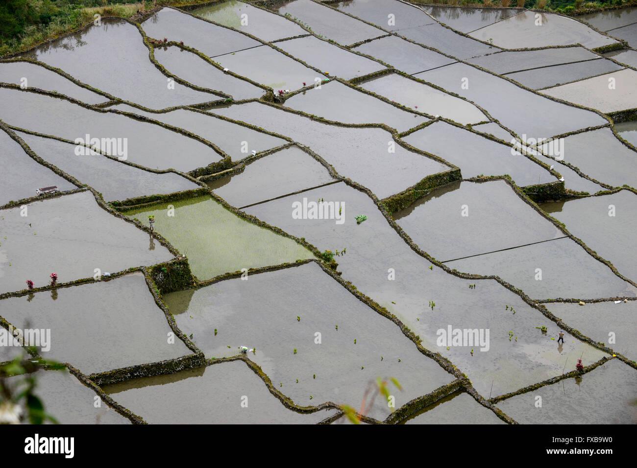 PHILIPPINES, Mountain Province, Cordilleras, rice farming on rice terrace in mountains near Bayyo / PHILIPPINEN, - Stock Image
