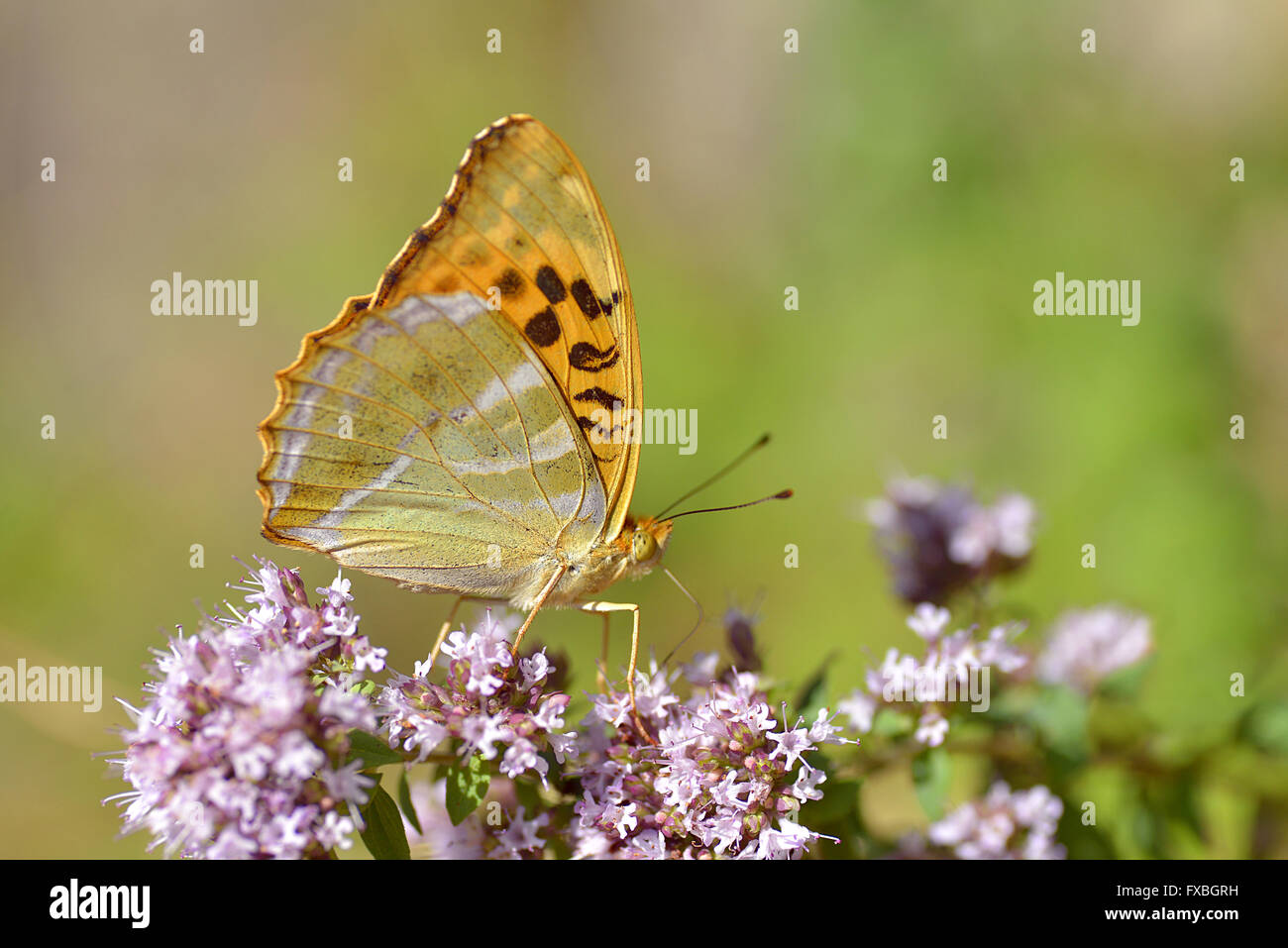 Silver-washed Fritillary butterfly (Argynnis paphia) feeding on flower viewed from profile - Stock Image