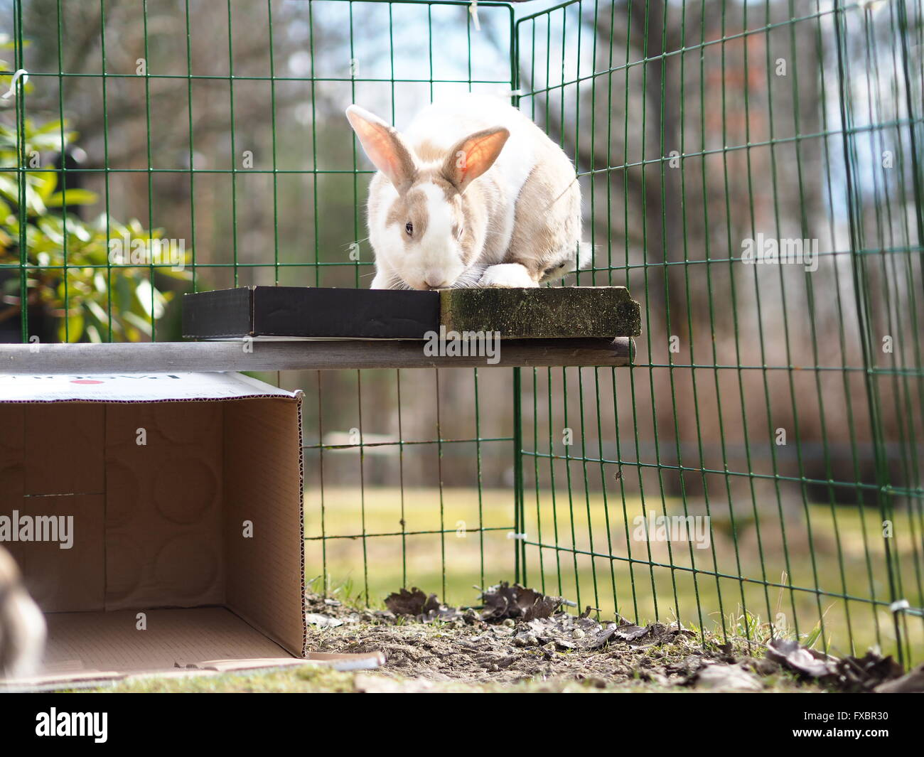 Brown and white bunny / rabbit outside, mix of flemish giant and dwarf lop Stock Photo