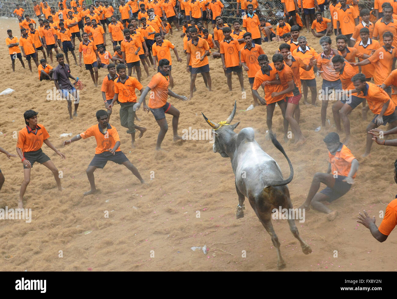 Jallikattu is one of the oldest living ancient sports seen in the modern era. India's Supreme Court had banned - Stock Image