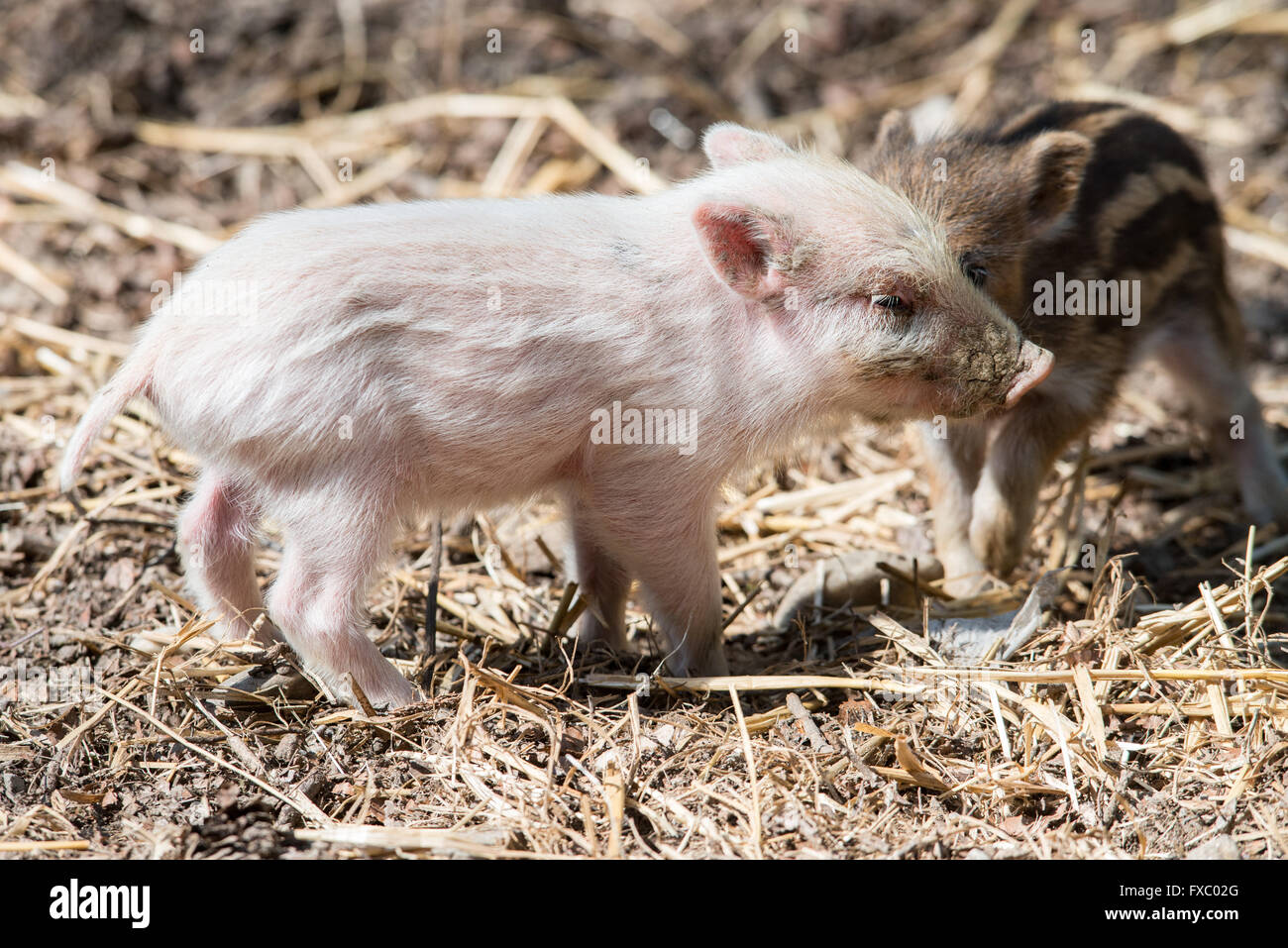 Ortenburg, Germany. 13th Apr, 2016. The white boar 'Bruno' stands in his enclosure in the Wildpark Schloss Ortenburg Stock Photo