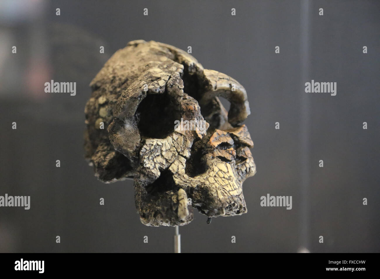 Kenyanthropus platyops. Kenya. Lake Turkana. Africa. -3,5 millions years ago. Pliocene. Brain Size: 350 cm3. - Stock Image