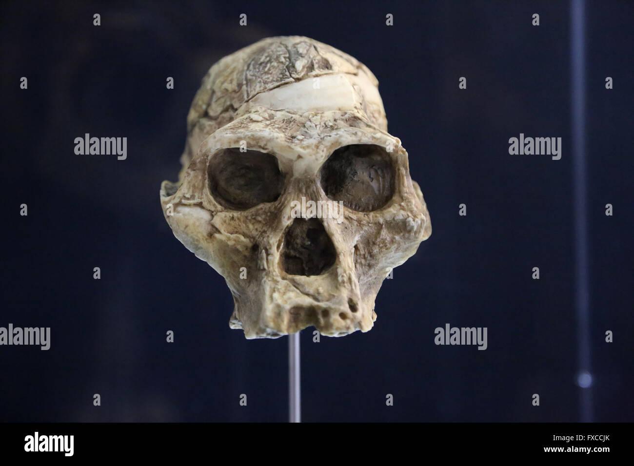 Australopithecus Bahrelghazali, 'Abel'(Kt-12/H1). Chad. Africa. -3, 5-3, 2 millions years ago. Pliocene. - Stock Image