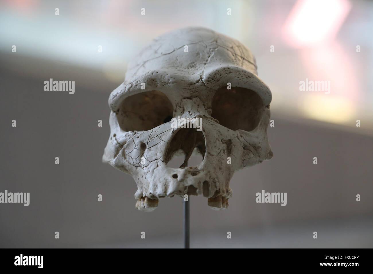 Homo Heidelbergensis. Europe. -600.000-160.000. Mediu Pleistocene. Brain size: 1100-1400 cm3. Mode 2 (Acheulean). - Stock Image