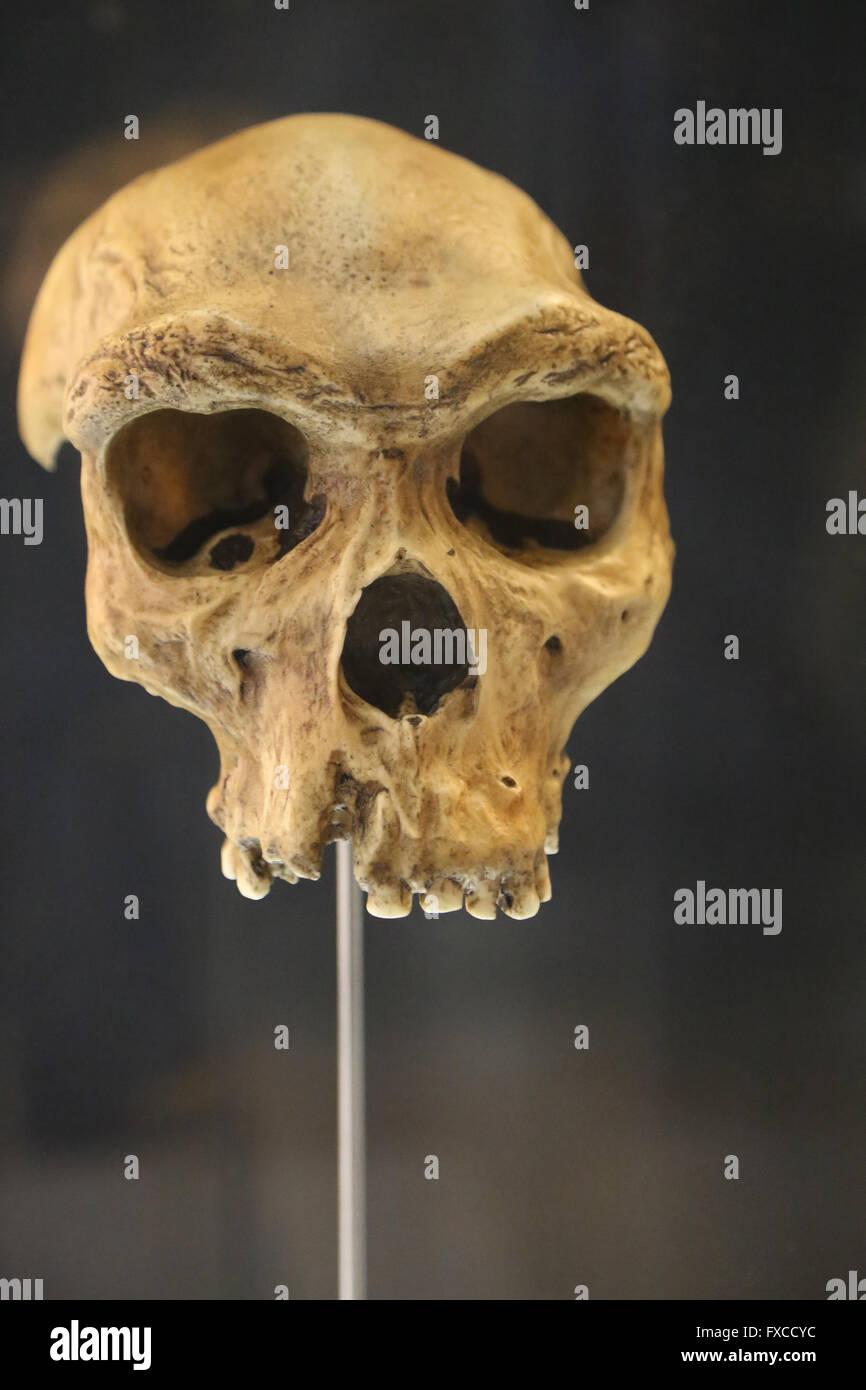 Homo Rhodesiensis. Africa. -600.000-200.000 year ago. Medium Pleistocene. Brain size: -400cm3. Technology: Mode - Stock Image