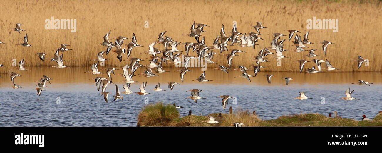 Black-tailed Godwits at Oare Marshes, Faversham Stock Photo