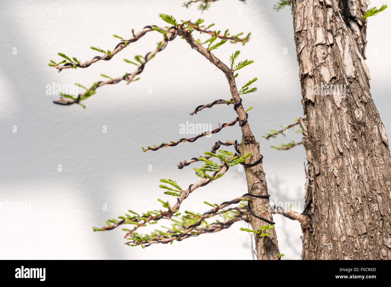 Close Up Of Bonsai Wiring To Shape The Branches Stock Photo For Beginners