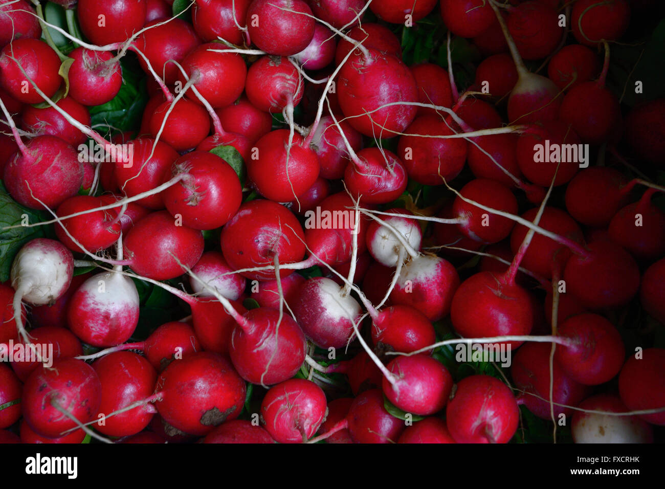 The radish, Raphanus sativus, is an edible root vegetable of the Brassicaceae family that was domesticated in Europe. - Stock Image