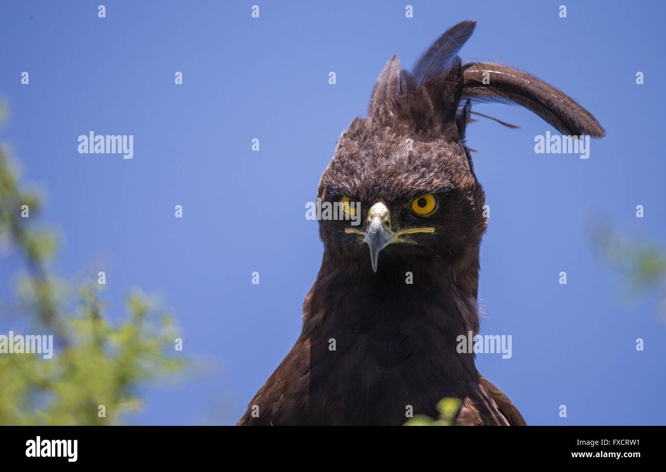 Long-crested eagle head staring directly at camera - Stock Image