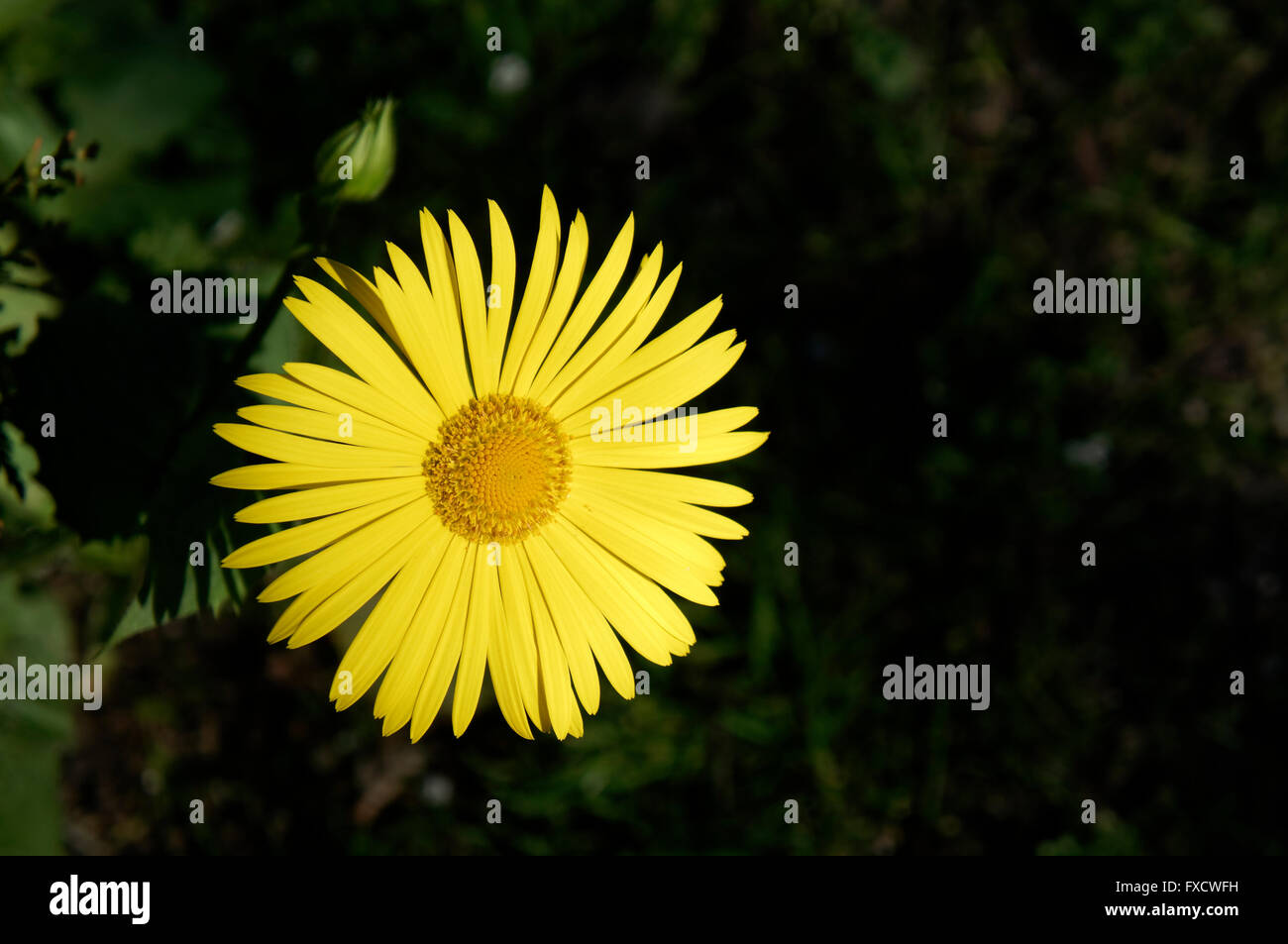 Doronicum orientale or leopard's bane flower, Family Asteraceae, in early spring, against a dark background Stock Photo
