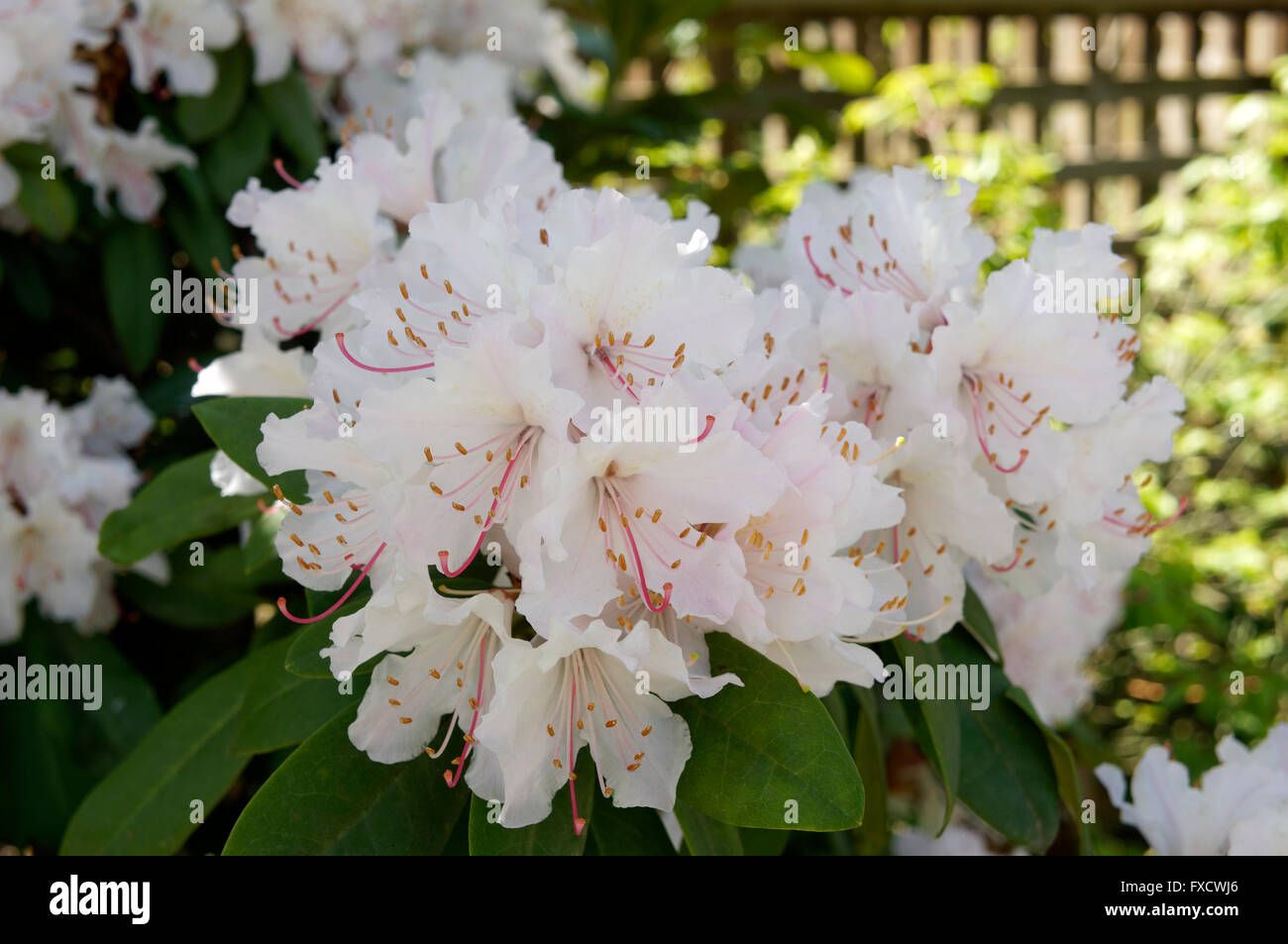 Pink And White Rhododendron Flowers In Spring Vancouver Bc Canada