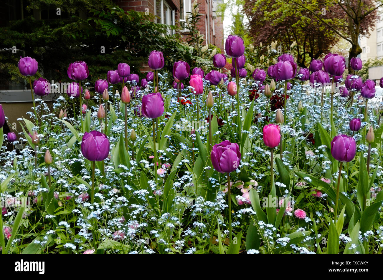 A Bed Of Purple Tulips And Other Spring Flowers In The West End