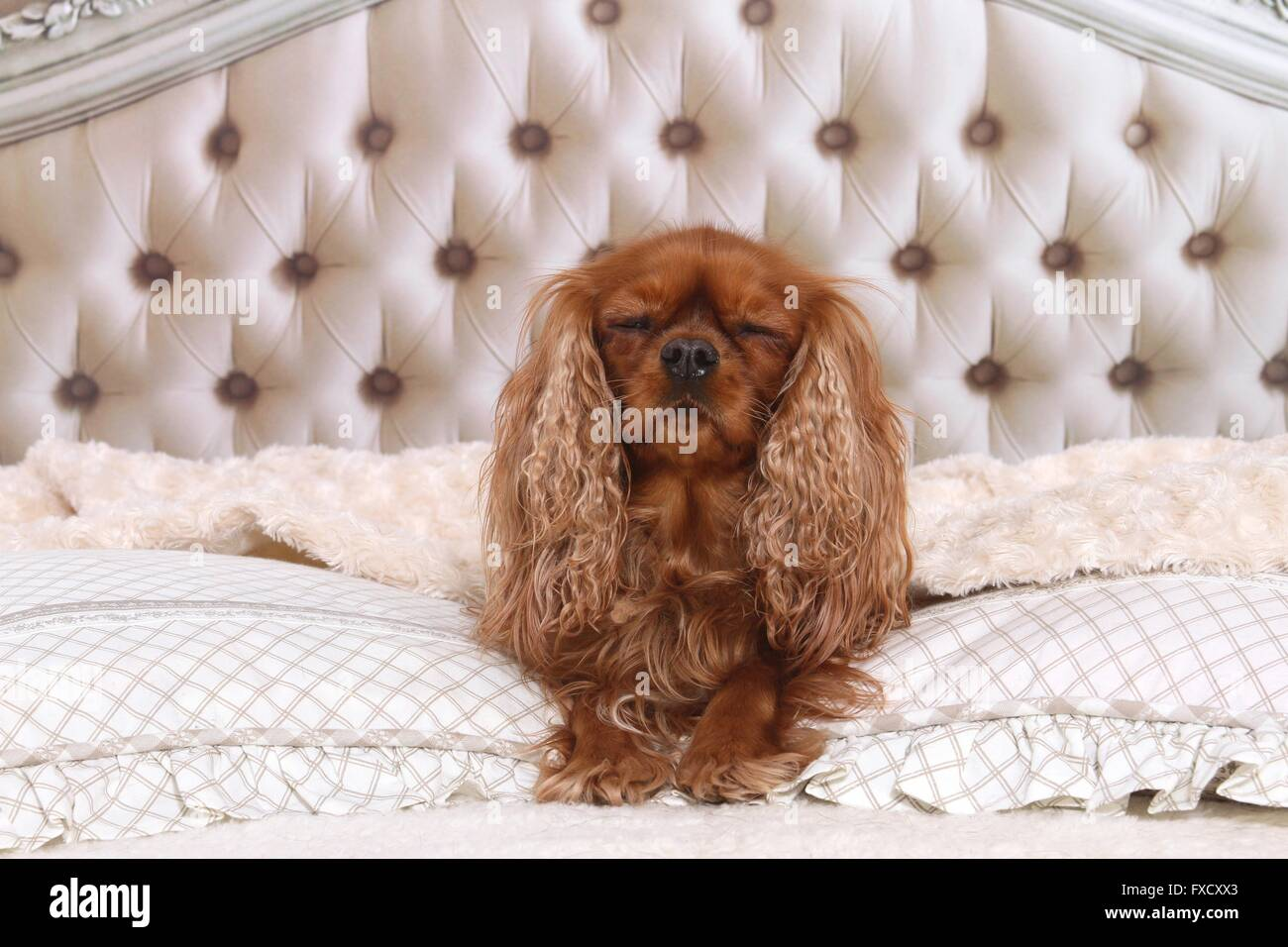 sleeping Cavalier King Charles Spaniel Stock Photo  102317435 - Alamy 0598538d74