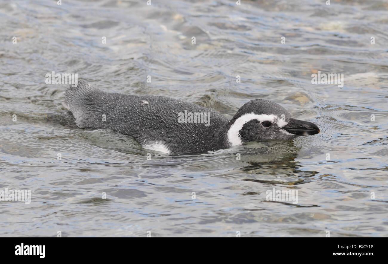 A Magellanic Penguin (Spheniscus magellanicus) swims  near the breeding colony on Isla Martillo in the Beagle Channel - Stock Image