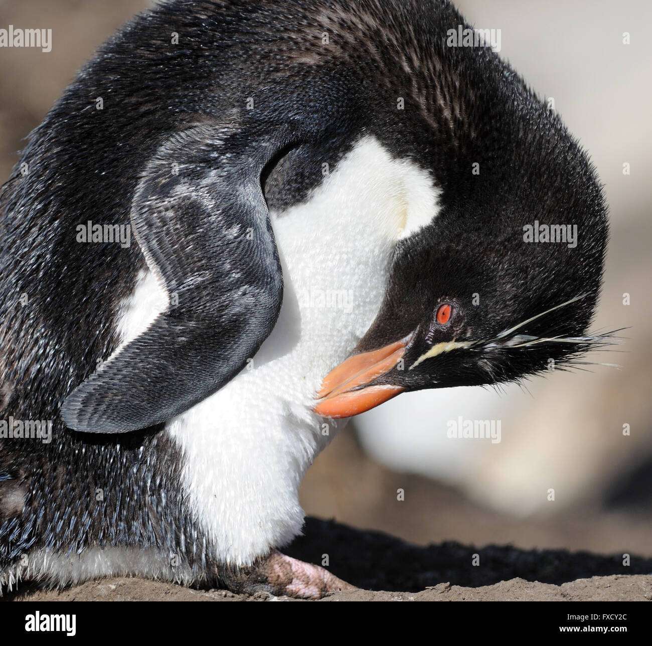 A Southern Rockhopper Penguin, (Eudyptes (chrysocome) chrysocome) preens its feathers at the nesting colony on Saunders - Stock Image