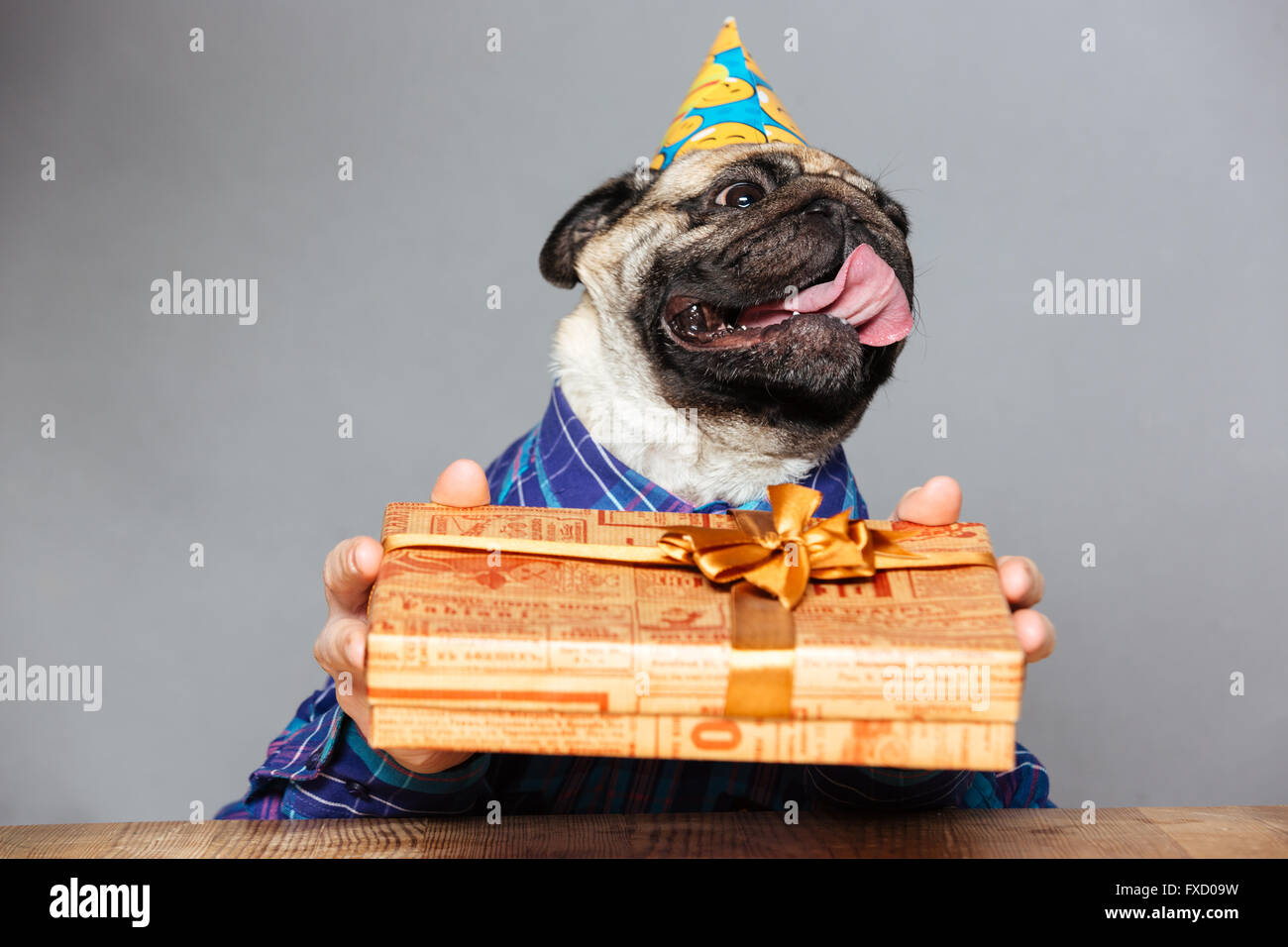 Happy pug dog with man hands in checkered shirt and birthday hat holding present box grey background - Stock Image