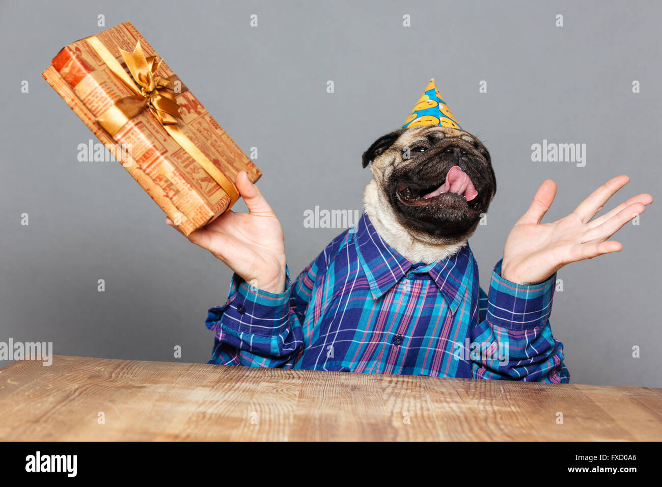 Excited happy pug dog with man hands in checkered shirt and birthday hat with gift over grey background - Stock Image