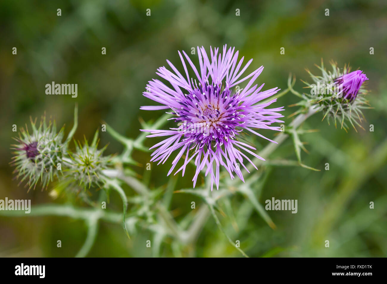 thistles flowers  on a blurred background - Stock Image