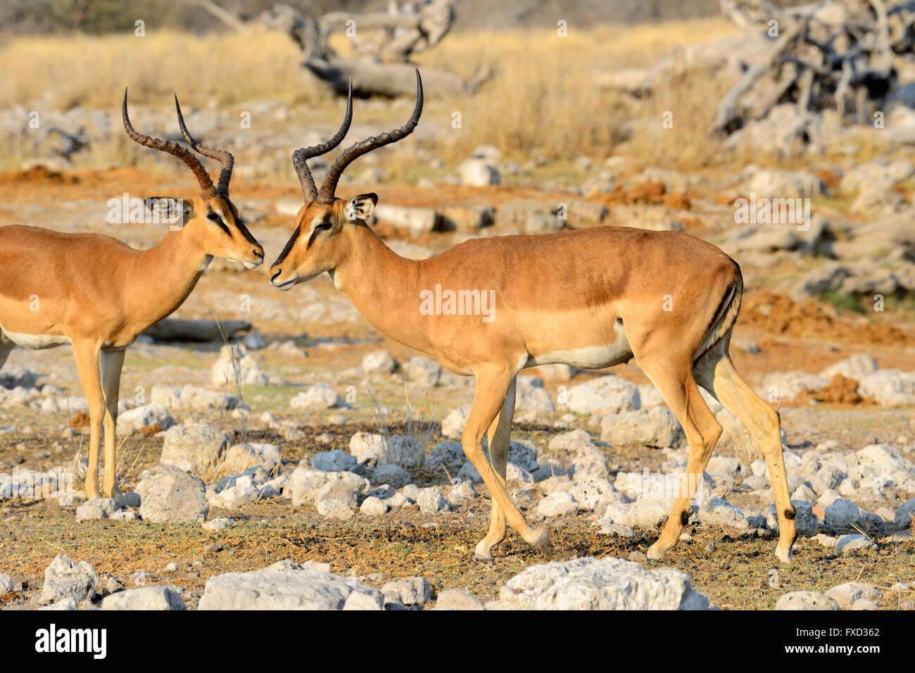 Pair of Impala (Aepyceros melampus) in Etosha National Park, Namibia - Stock Image