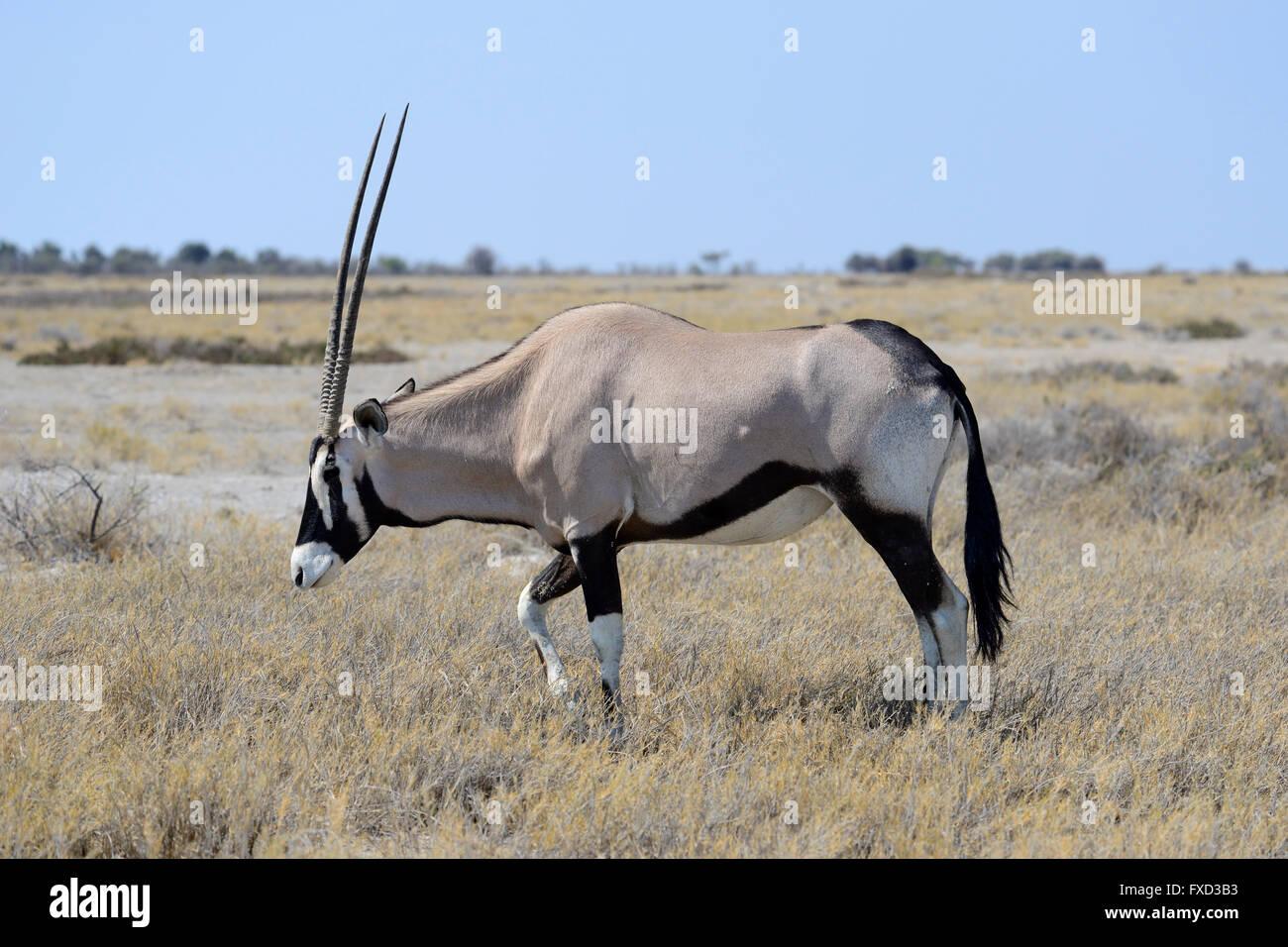 Gemsbok (Oryx gazella) in Etosha National Park, Namibia - Stock Image