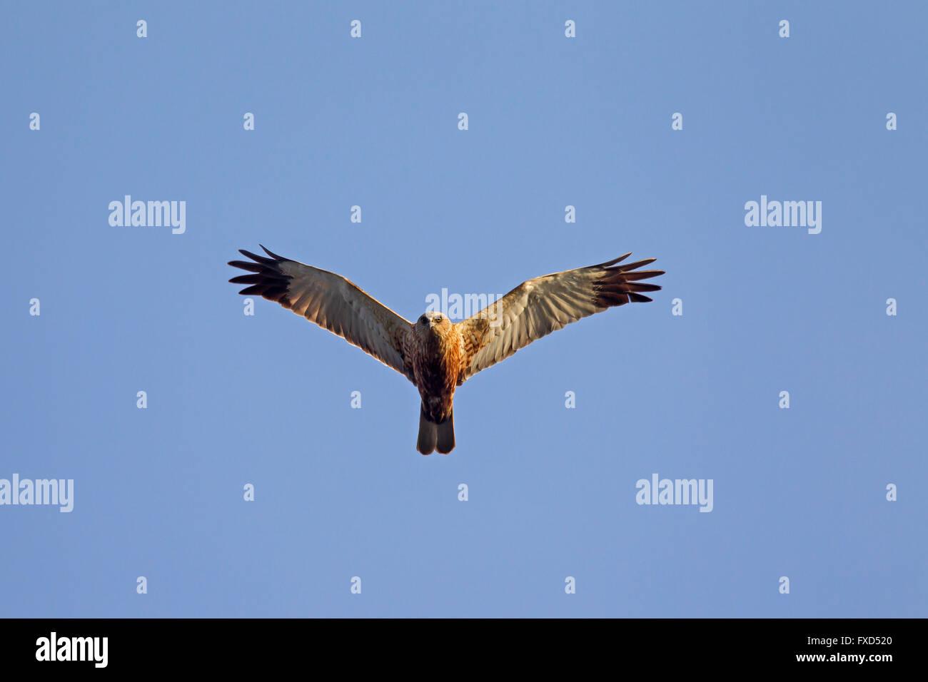 Western marsh harrier / Eurasian marsh harrier (Circus aeruginosus), male in flight Stock Photo
