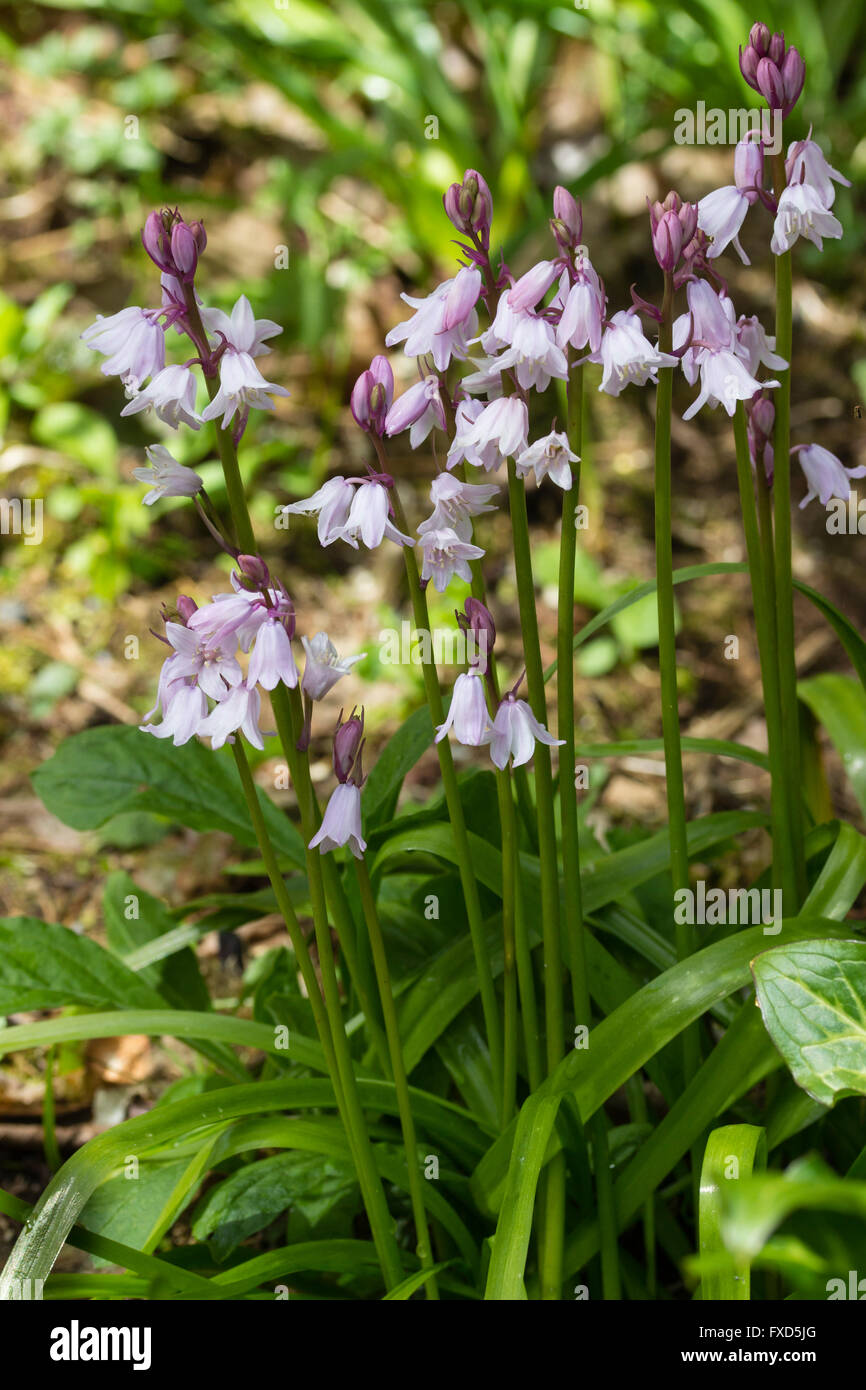 Lilac flowered variant of Hyacinthoides x massartiana, the cross between the English and Spanish bluebells - Stock Image