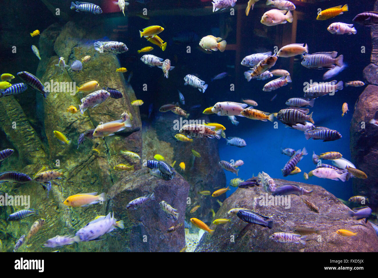 lake malawi cichlids new york aquarium coney island brooklyn new stock photo 102322722 alamy. Black Bedroom Furniture Sets. Home Design Ideas