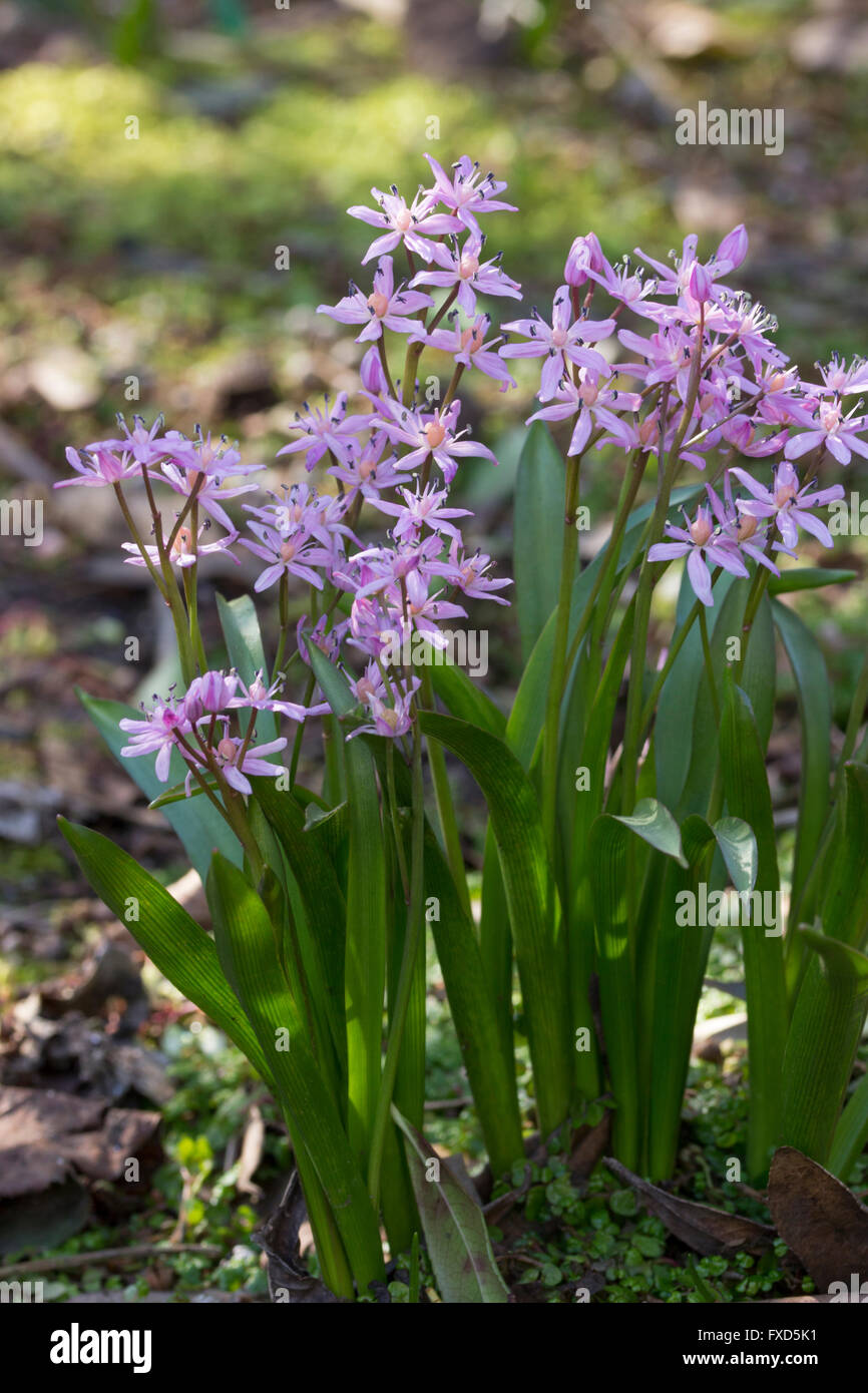 Pink flowers of the small spring flowering bulb scilla bifolia pink flowers of the small spring flowering bulb scilla bifolia rosea mightylinksfo