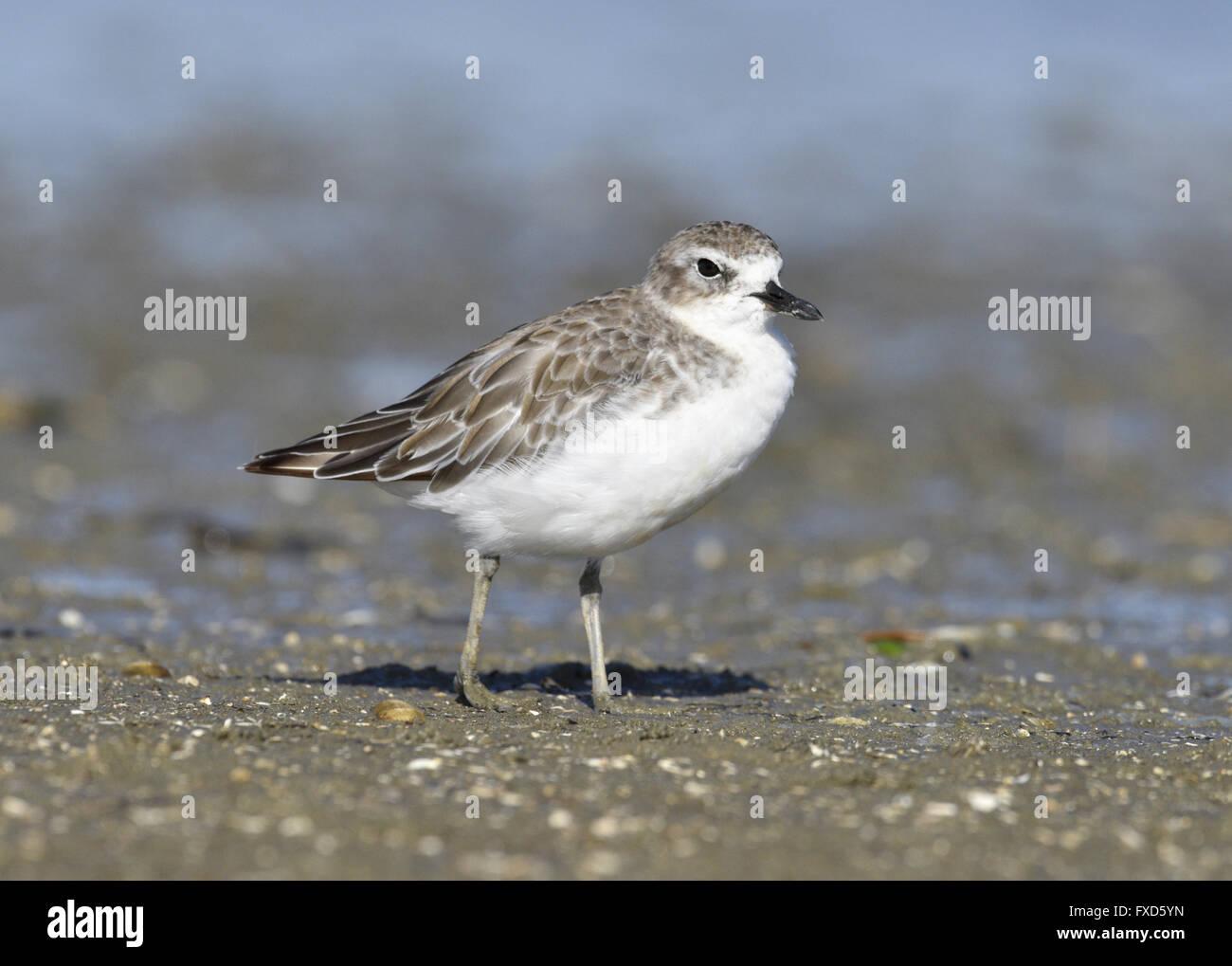 New Zealand Dotterel - Charadrius obscurus -juvenile - Stock Image