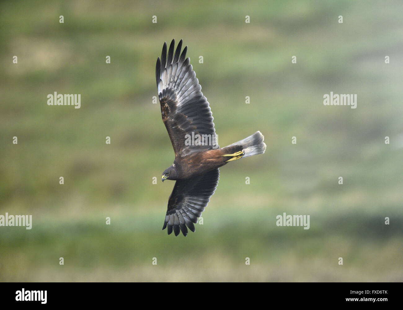 Swamp Harrier - Circus approximans - Stock Image