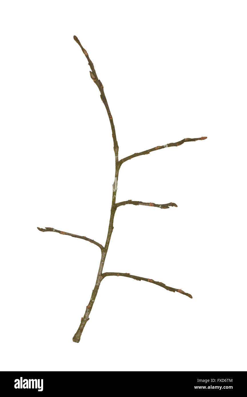 Grey Willow - Salix cinerea - winter twig - Stock Image