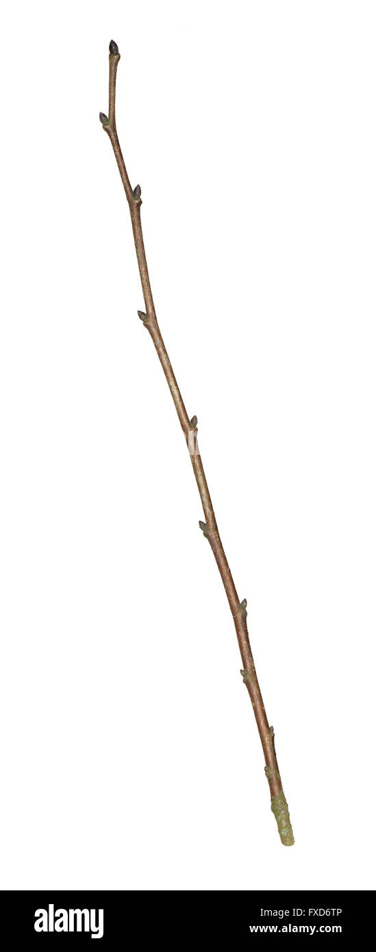 Smooth-leaved Elm - Ulmus minor var. minor - winter twig - Stock Image