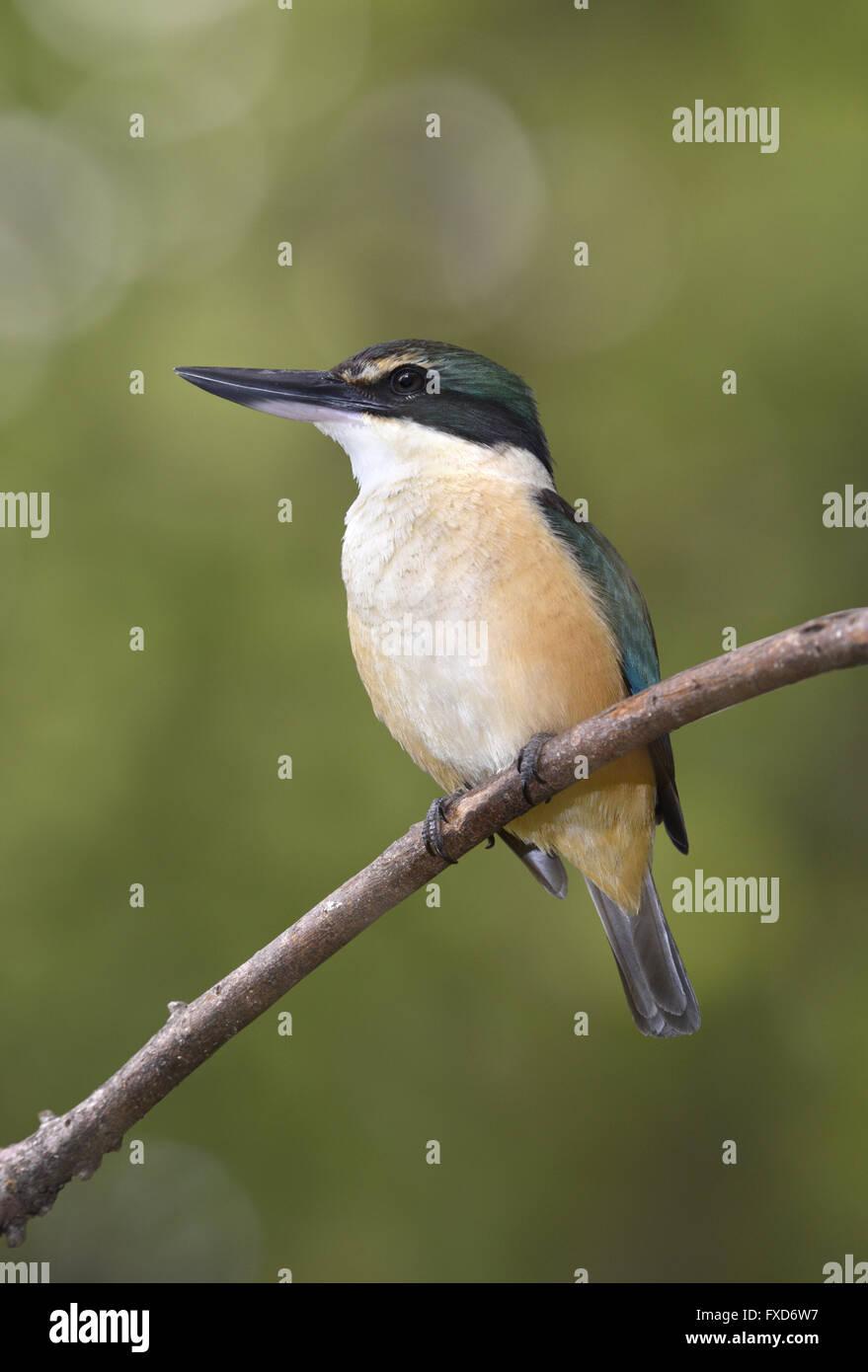 Sacred Kingfisher - Halcyon sancta - Stock Image