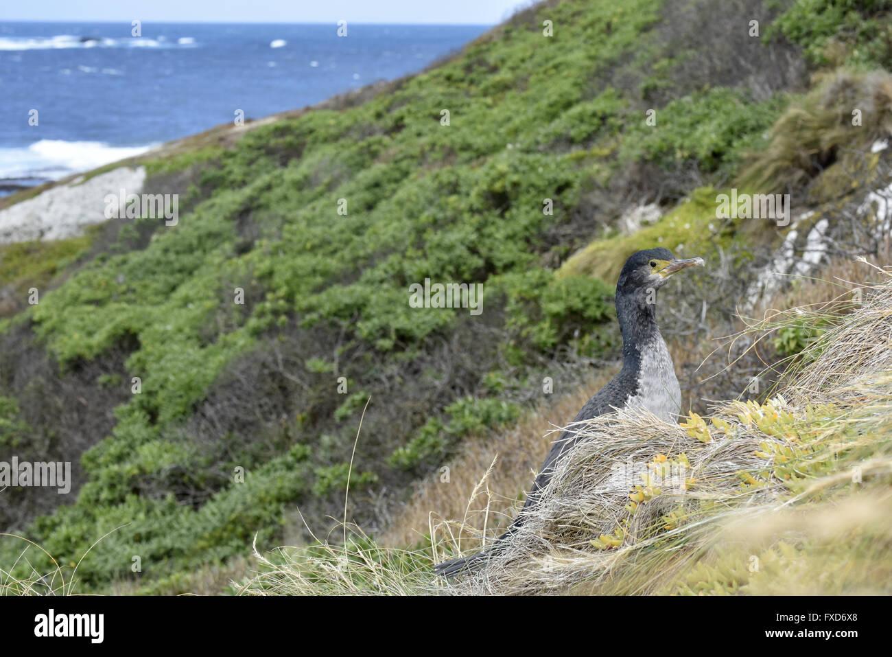 Pitt Island Shag - Stictocarbo featherstoni - Stock Image