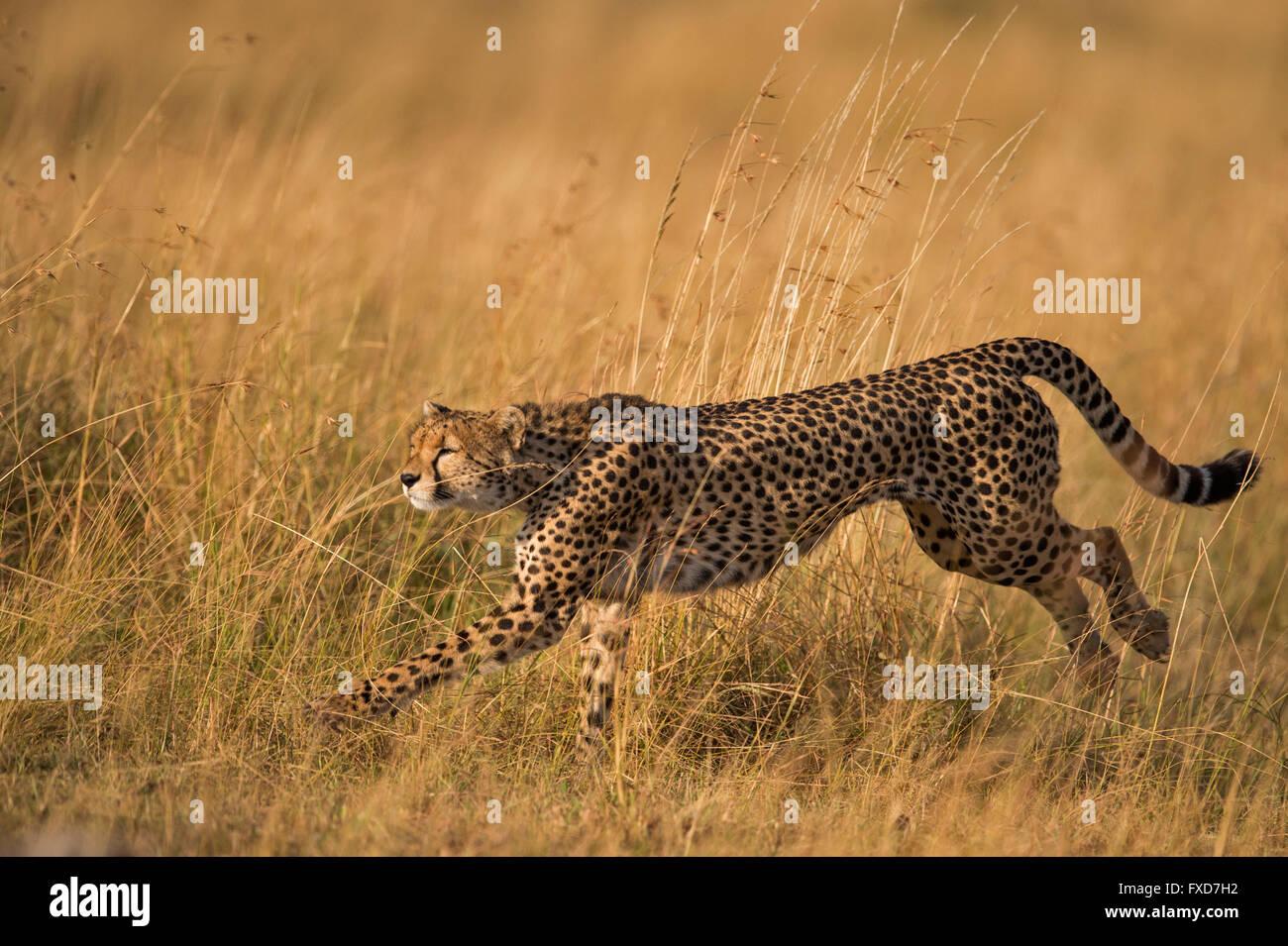 Cheetah  (Acinonyx jubatus) running in a grassland in Masai Mara, Kenya - Stock Image